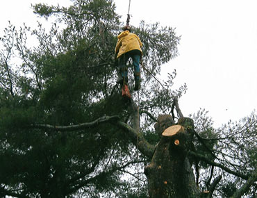 Man Being Lifted By Crane Working On Tree